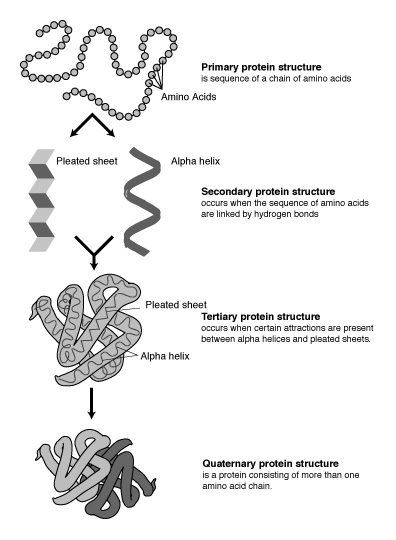 3-Dimensional Protein Structures