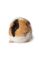 clia-kits-guinea-pig-clia-kit