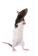clia-kits-rat-clia-kit