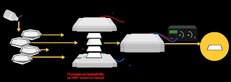 Western-blot-transfer