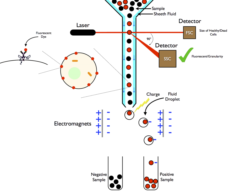 The principle of flow cytometry. Laser beam to be detected, counted and sorted
